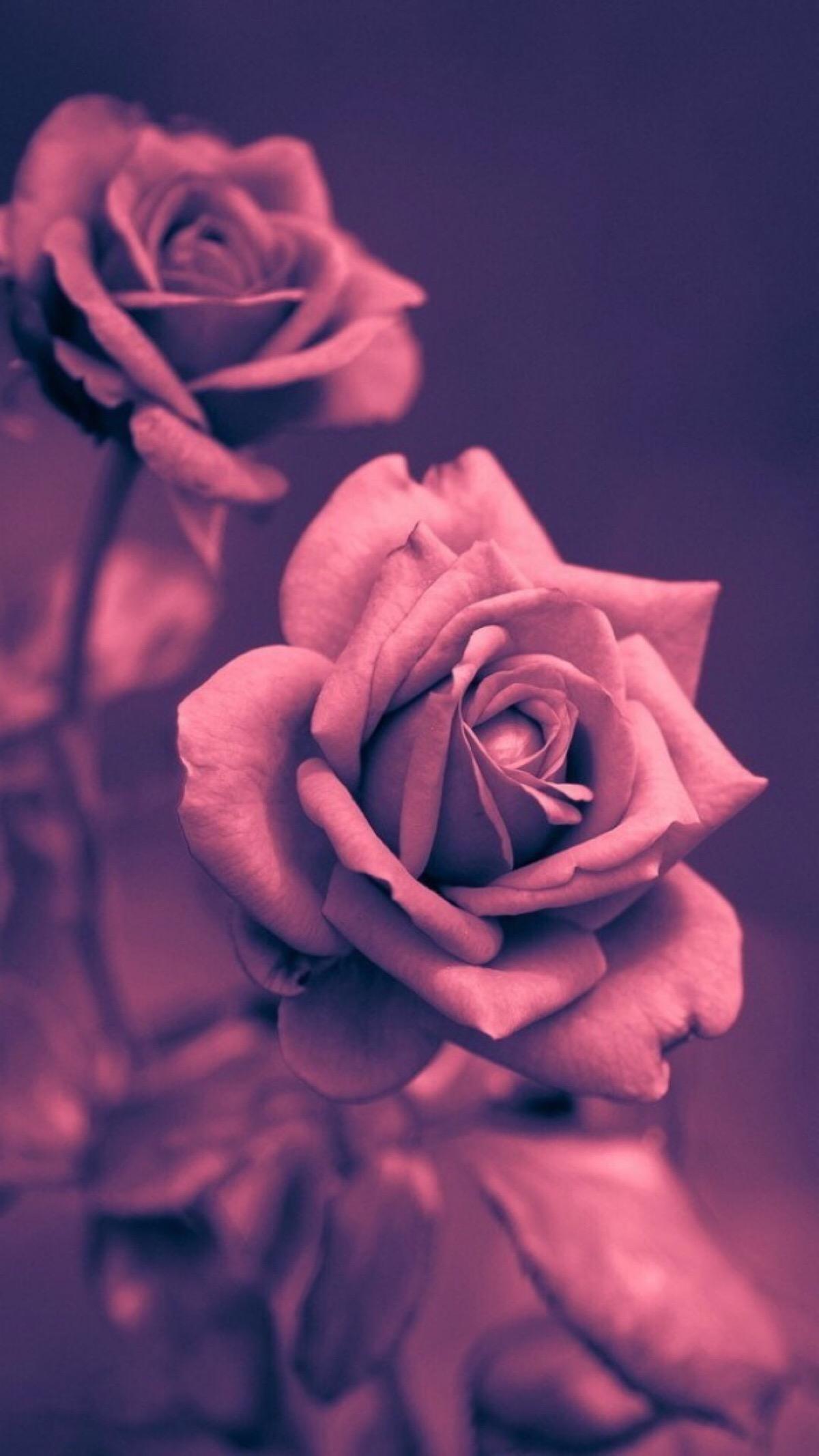 玫瑰带字唯美意境图片 带字的紫玫瑰图片