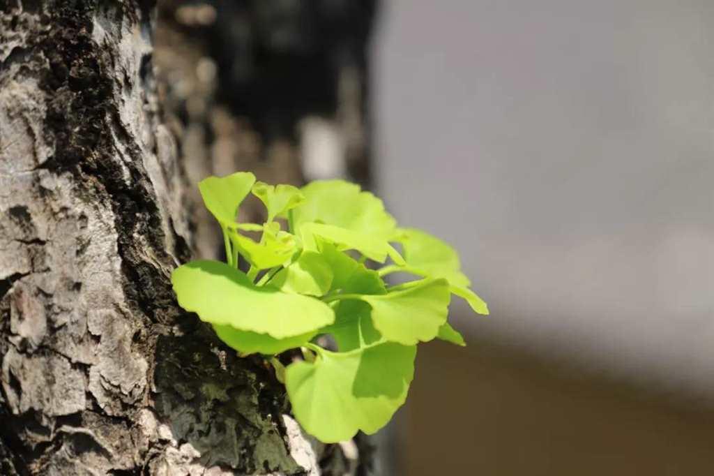 盼望着,盼望着,春天来了,妥乐的银杏发芽了,一切都像刚睡醒的样貌#树木#花草#小清新